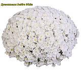 Хризантема DeNiro White (Де Ниро Уайт).  Мультифлора в горшках, фото 2