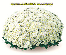 Хризантема Elda White (Эльда Уайт).  Мультифлора в горшках