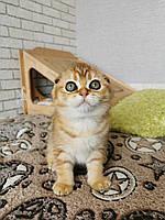 Девочка. Шотландская вислоухая - золотая шиншилла, рождена 15.03.2021 в питомнике Royal Cats. Украина, Киев