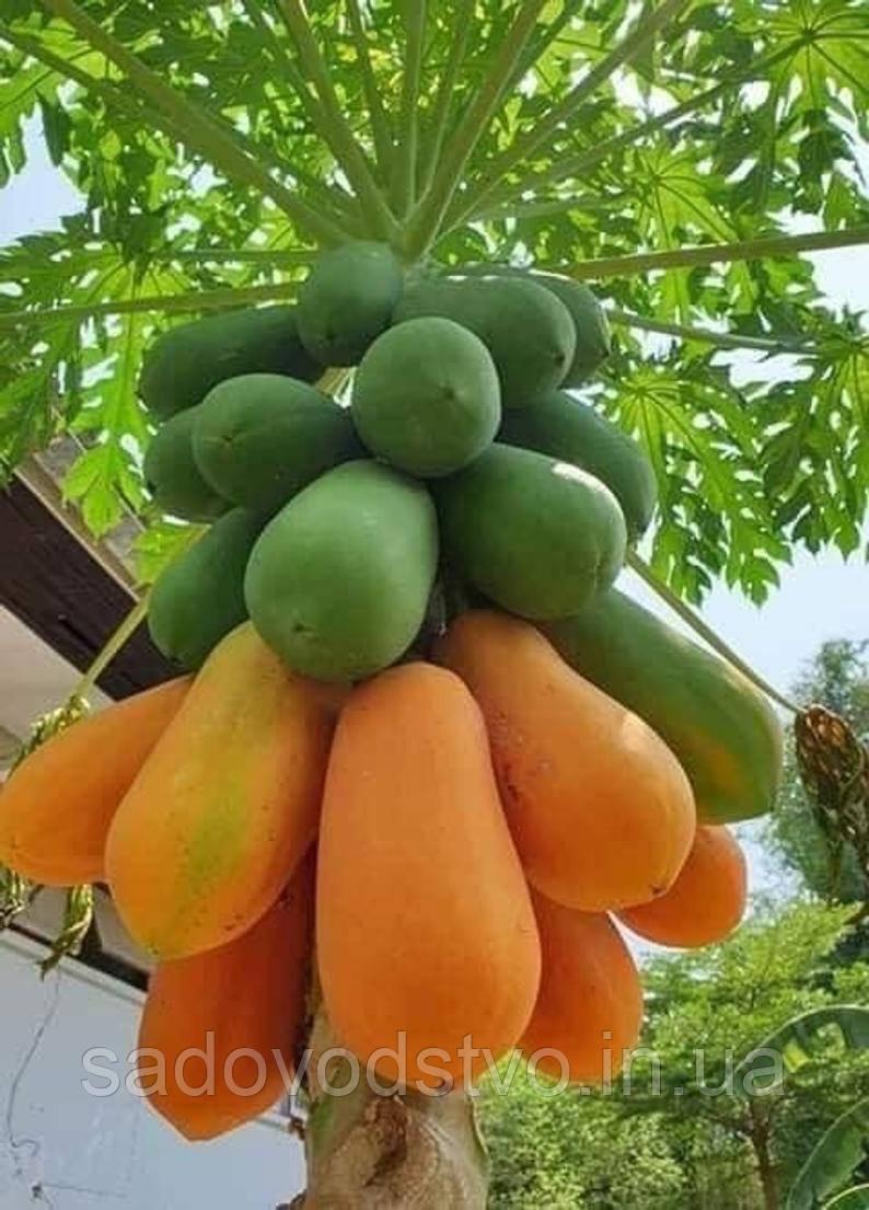 Высокоурожайная карликовая папайя Красная Леди