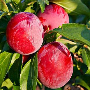Колоновидний гібрид сливи і персика Сливовий нектарин - середнього терміну, транспортабельна, морозостійка