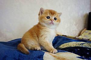 Мальчик. Шотландский прямоухий - золотая шиншилла, рожден 26.04.2021 в питомнике Royal Cats. Украина, Киев