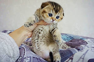 Девочка. Шотландская вислоухая - золотая шиншилла, рождена 26.04.2021 в питомнике Royal Cats. Украина, Киев