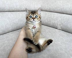Девочка. Британская короткошёрстная - золотая шиншилла, др 10.04.2021 в питомнике Royal Cats. Украина, Киев