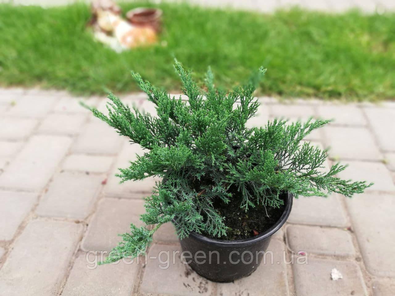 Можжевельник казацкий Tamariscifolia С3