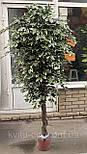 Ветка дерева фикуса Бенджамина. 60 см ( 6 шт в уп), фото 2