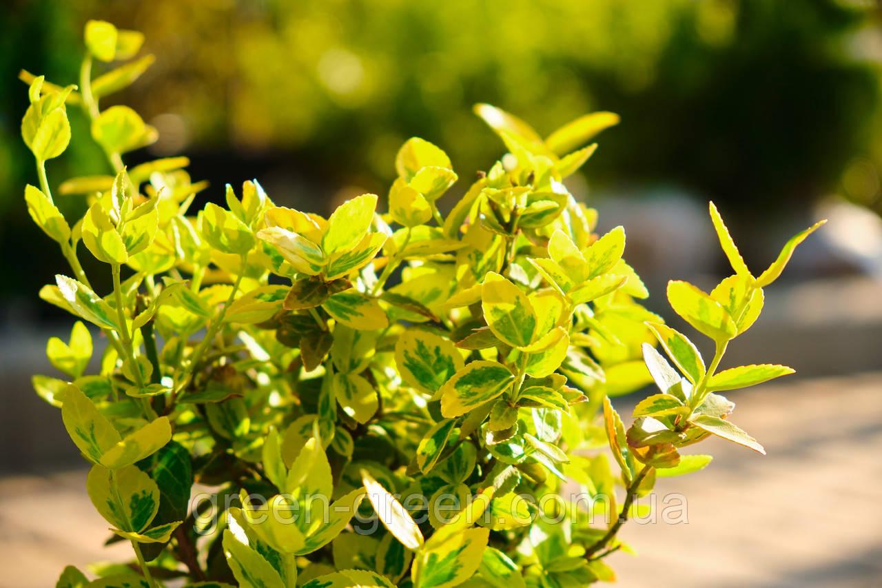 Бересклет Форчуна Emerald Gold P9