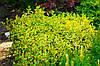 Бересклет Форчуна Emerald Gold P9, фото 3