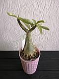 Аденіум RC308 (доросле рослина), фото 3