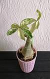Адениум RC308  (взрослое растение), фото 2