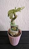 Адениум RC308  (взрослое растение), фото 4