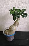 Адениум The Bell 2 (взрослое растение), фото 3