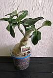 Адениум The Bell 2 (взрослое растение), фото 4