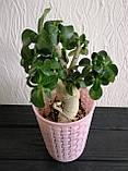 Аденіум міні (доросле рослина), фото 2