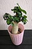 Адениум мини (взрослое растение), фото 4