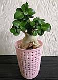 Адениум мини (взрослое растение), фото 5