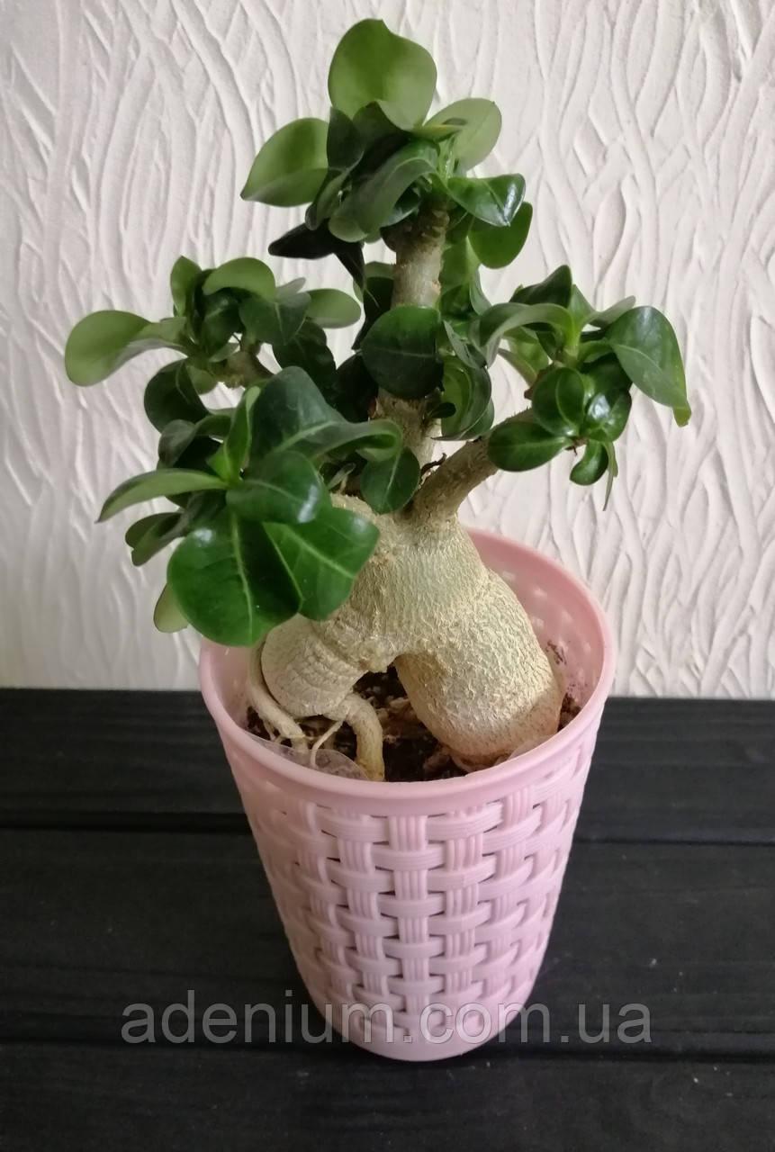 Аденіум міні (доросле рослина)