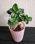 Аденіум міні (доросле рослина), фото 3