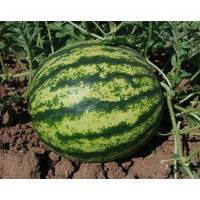 Семена арбуза Виктория F1, селекция Nunhems (Нунемс), упаковка 1000 семян