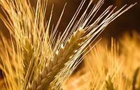 Семена озимого ячменя Луран 1 репродукция, урожай 2015 года