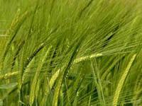 Услуги по уборке ярых зерновых