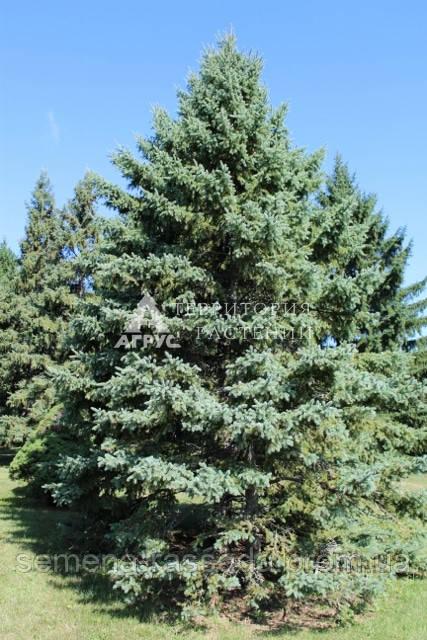 Ель белая (3 л, 30-40 см)