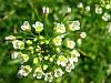 Пастушья сумка (грицики)трава 50 г. Едель