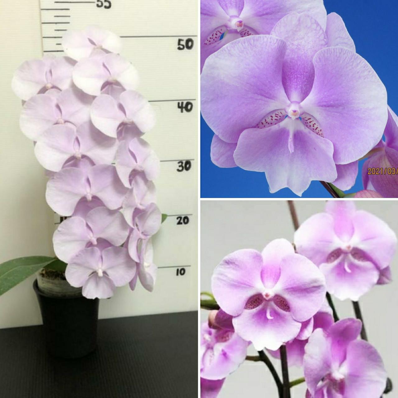Дитинко орхідеї Sponge bob, без квітів, діаметр горщика 5 см