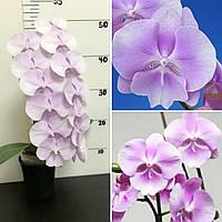 Дитинко орхідеї Sponge bob, без квітів, діаметр горщика 5 см, фото 1