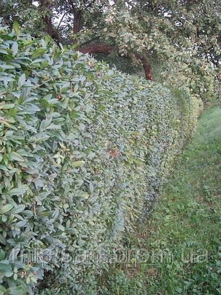 Бирючина- декоративный кустарник, идеален для живой изгороди, фото 2