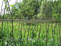 Деревья и кустарники граба обыкновенного для посадки живой изгороди, фото 1