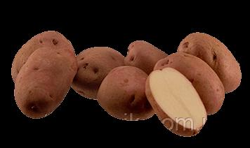 Картофель Рудольф  (по 5 кг)
