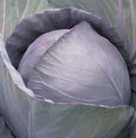 РОМАНОВ F1 - капуста краснокочанная, Hazera, фото 1