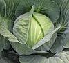 САТИ F1 - семена капусты белокочанной калиброванные 2 500 семян, Hazera
