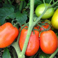 ДИАДЕМА F1 - томат, Hazera