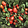 КАЛИСТА F1 - томат, Hazera, фото 4