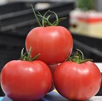 ПИНК КЛЕР F1 (HTP-11) - томат, Hazera, фото 1