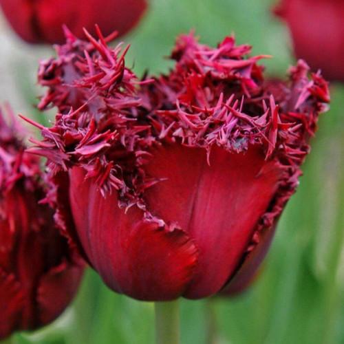Луковицы тюльпанов бахромчатый Versace 3 шт