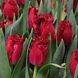Луковицы тюльпанов бахромчатый Versace 3 шт, фото 2