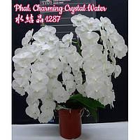 """Орхидея, горшок 2.5"""", без цветов. Сорт Charming crystal water"""