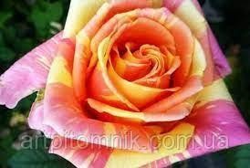 Роза бордюрная Фиеста