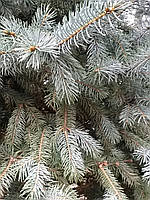 Ель колючая Picea pungens Fath Albert C110L h1,7-2м