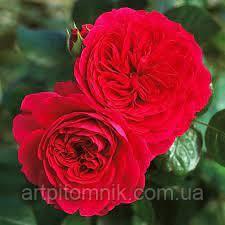 Роза плетистая Ред Леонардо