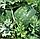 ВАСКО F1 - арбуз, Hazera, фото 3