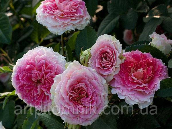 Роза в'юнка Цезар