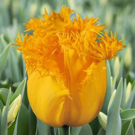 Луковицы тюльпанов бахромчатый Hamilton 3 шт