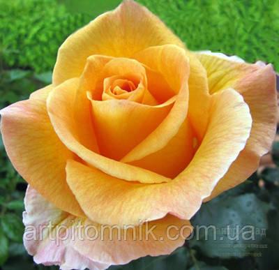 Роза Віскі