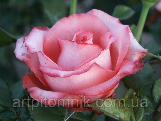 Роза Сандра