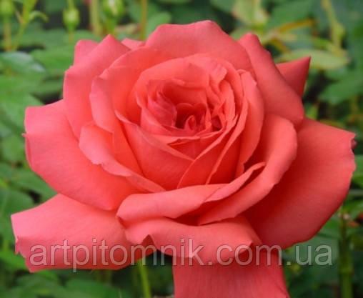 Роза Фройде