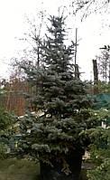 Ель колючая сизая Picea pungens Glauсa C350L h2,25-2,5м
